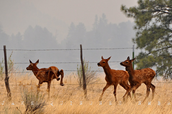 Elk flee from the direction of the Wallow Fire near the San Francisco Box, 5 miles northeast of Luna, NM. Many of the animals showed burns and injuries sustained by barbed-wire fences.-Catron County, NM