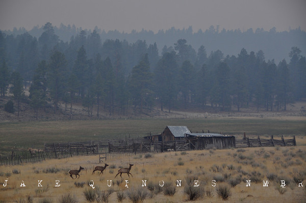 Elk flee the Wallow Fire near Centerfire Creek, north of Luna, NM.-Catron County, NM- May 9, 2011